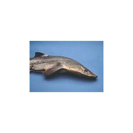 Shark Head (dogfish)Qty Discount Available