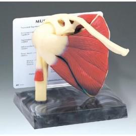 Muscled Shoulder Joint Model