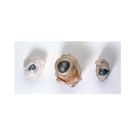Mammalian Eye SetQty Discount Available