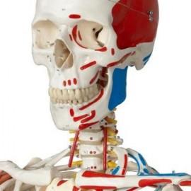 Sam the Super Skeleton  On Hanging Stand