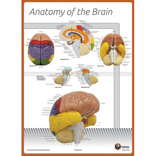 Anatomy of the Brain Chart, Poster Size Labeled