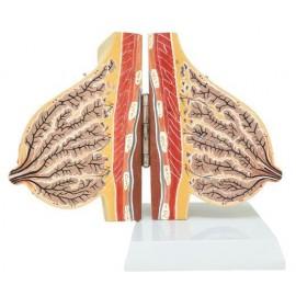 Mammary Gland in Lactation