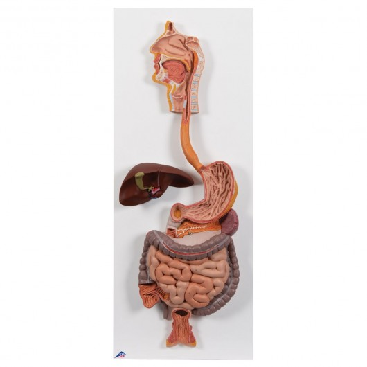 Classic Human Digestive System Model