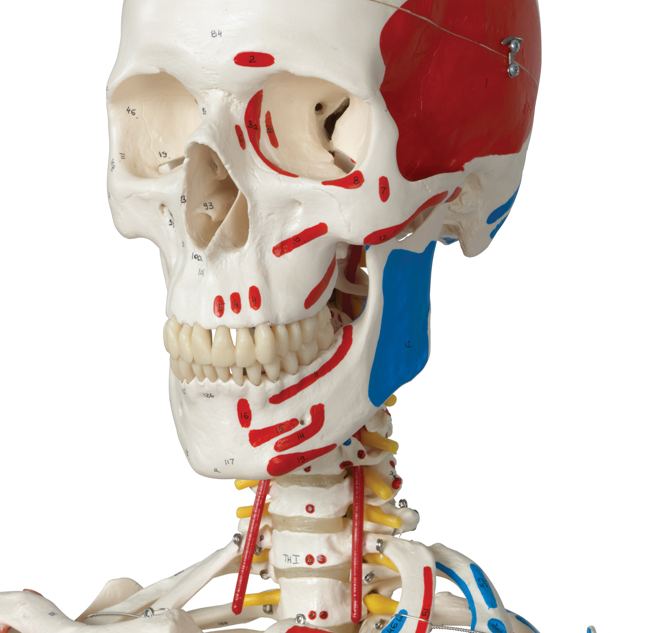 Skeletons, skulls and more